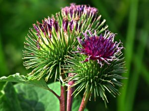 burdock hair loss