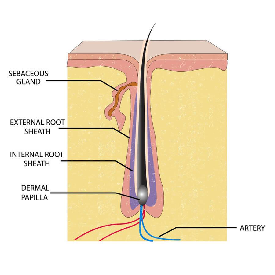 A diagram of the hair follicle