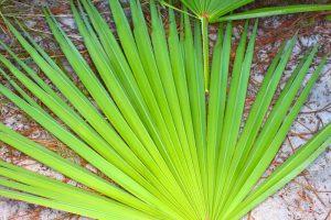 A saw palmetto leaf